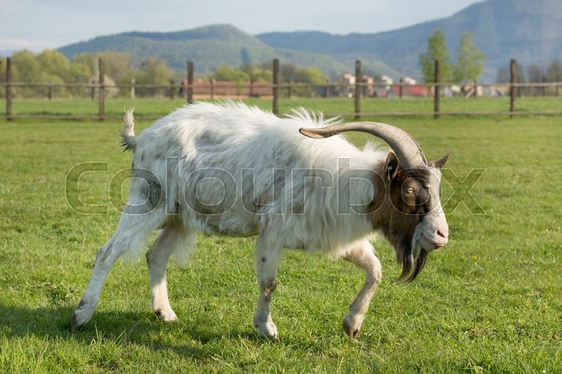 Stock image of 'goat with one horn on pasture'