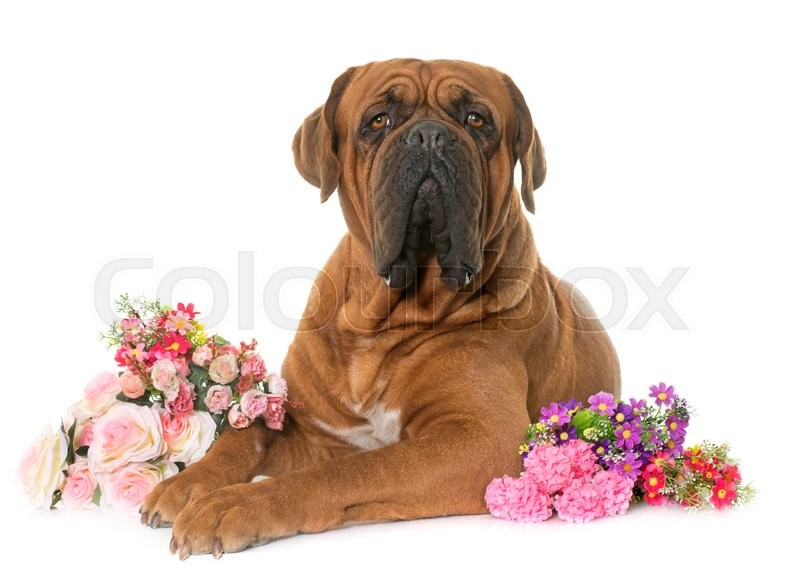 Stock image of 'Bordeaux mastiff in front of white background'