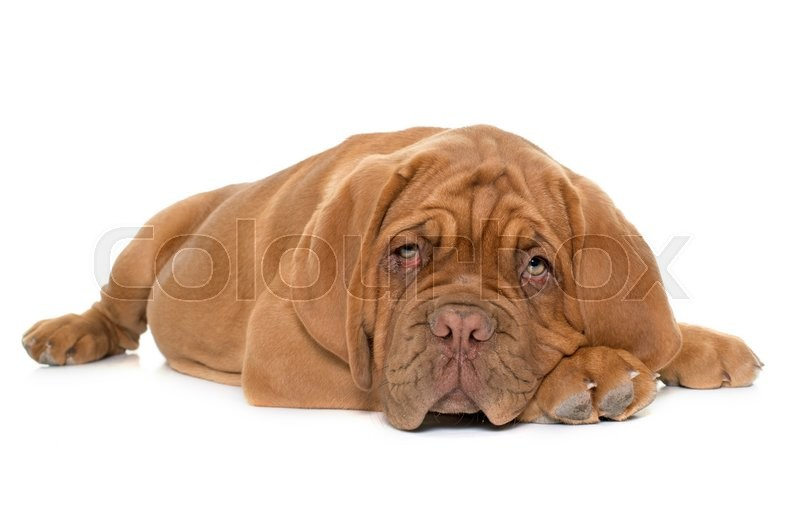 Stock image of 'puppy Bordeaux mastiff in front of white background'