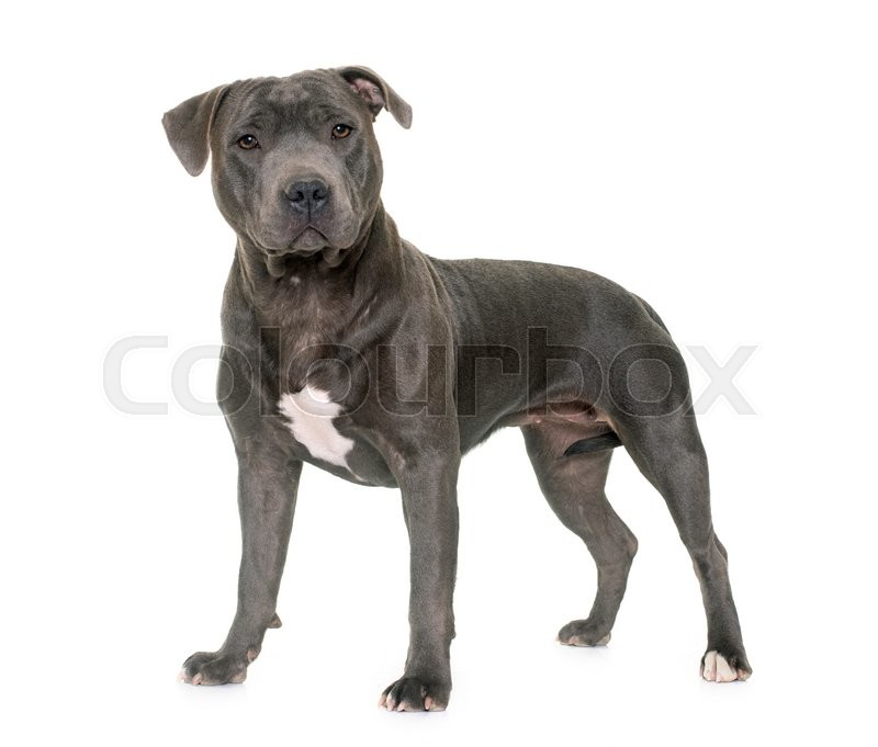 Stock image of 'staffordshire bull terrier in front of white background'