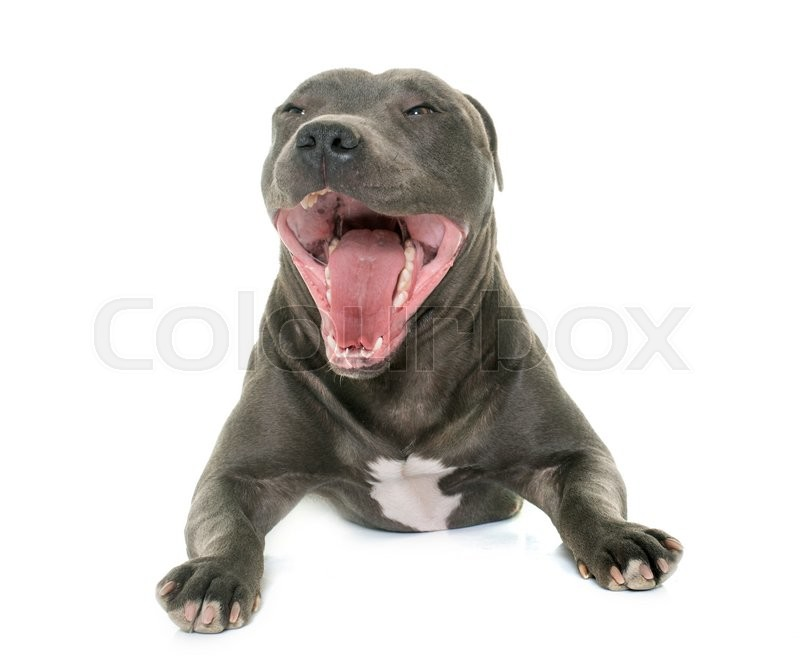 Stock image of 'staffordshire bull terrier yawning in front of white background'