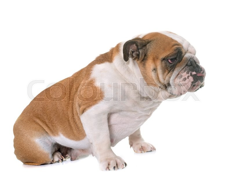 Stock image of 'english bulldog in front of white background'