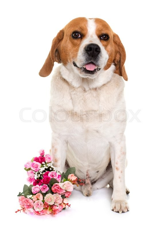 Stock image of 'adult beagle in front of white background'
