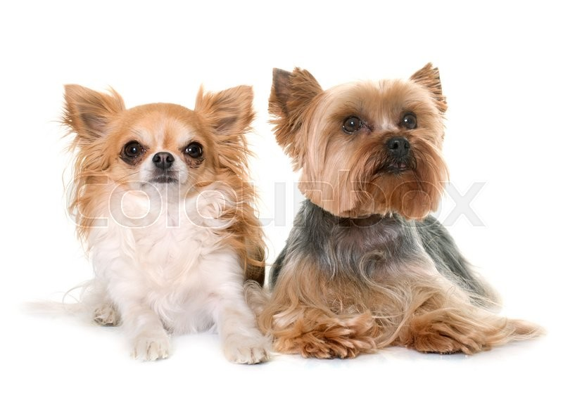 Stock image of 'yorkshire terrier and chihuahua in front of white background'