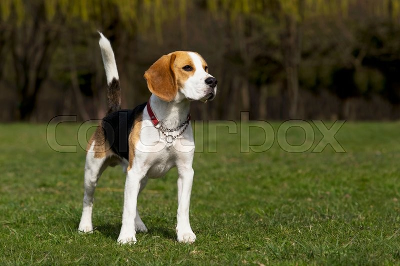 Stock image of 'the dog breed beagle on a green grass'