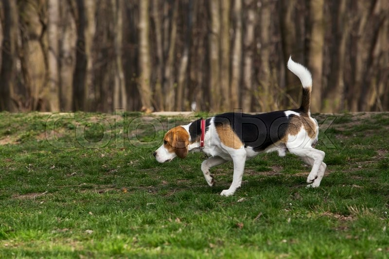 Stock image of 'the dog breed beagle looking for a trail'