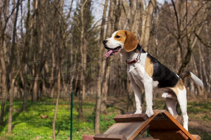 Stock image of 'the dog breed beagle overcomes an obstacle'