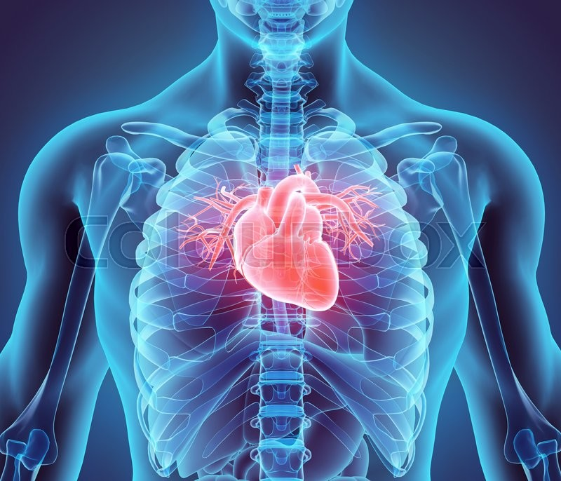 Stock image of '3D illustration of Heart - Part of Human Organic.'