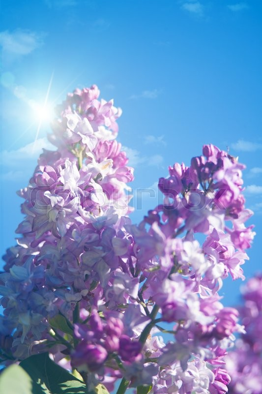 Stock image of 'Lilac flowers under blue skies, abstract natural backgrounds'