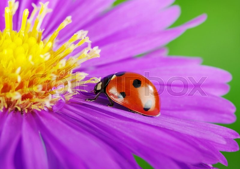 Stock image of 'Ladybug on flower and the green background'