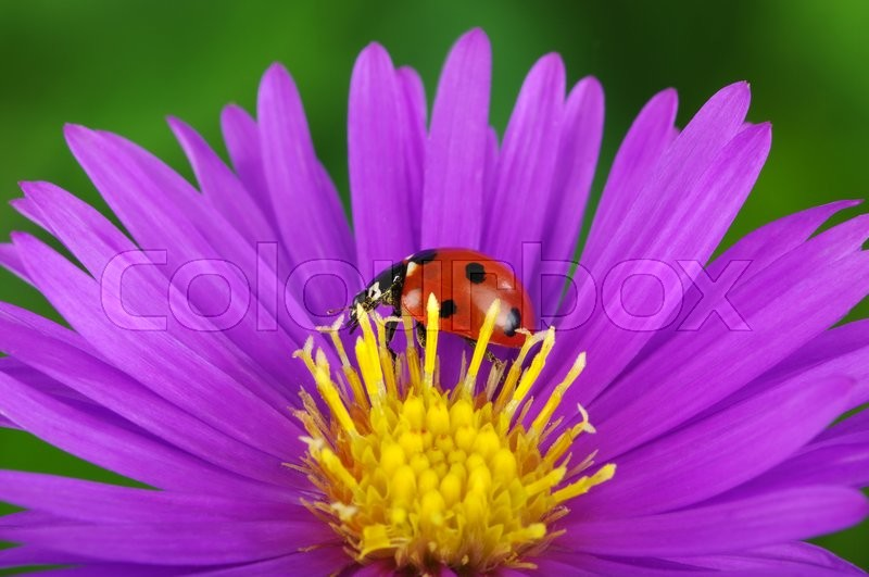 Stock image of 'Ladybug and flower on a green background'
