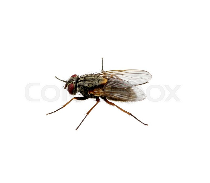 Stock image of ' A macro shot of fly on a white background . Live house fly .Insect close-up'