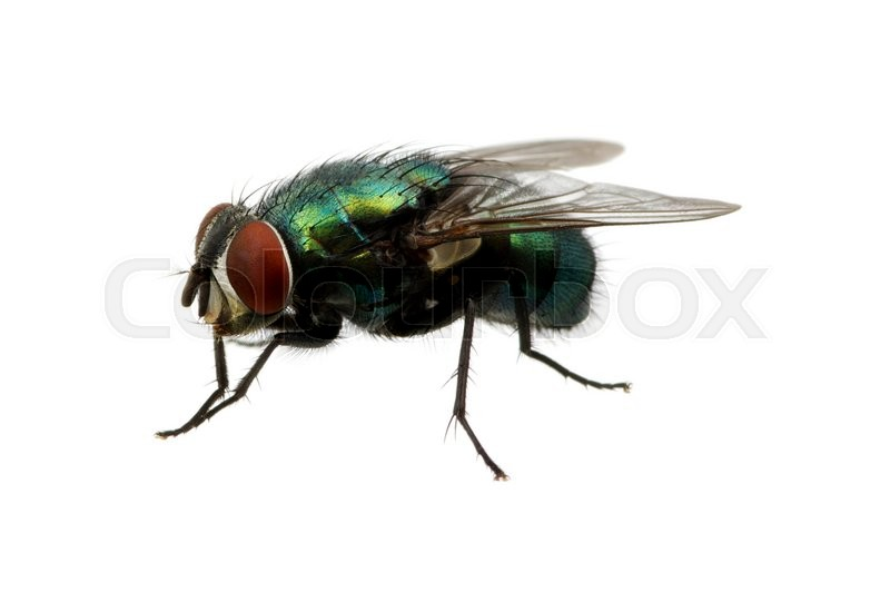 Stock image of 'green fly isolated on white'