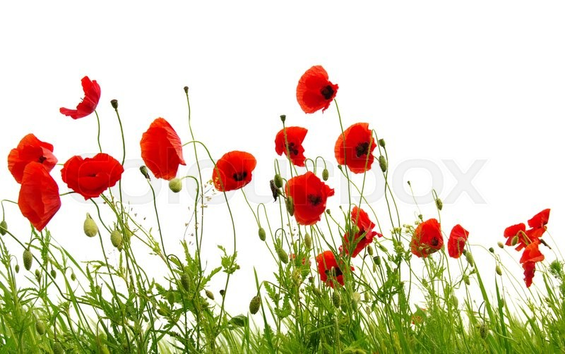 Stock image of 'red poppies isolated on white'