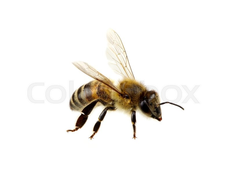 Stock image of 'Bee isolated on the white. macro of a living insect.'