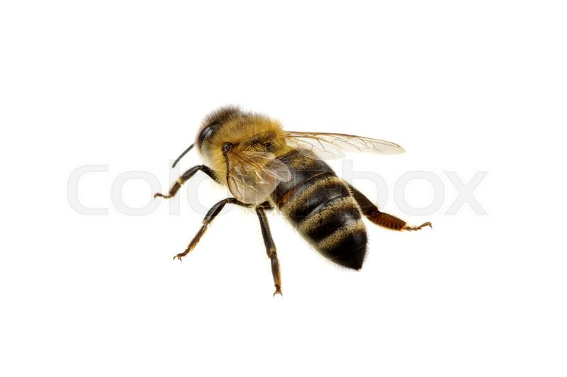 Stock image of 'Bee isolated on the white'