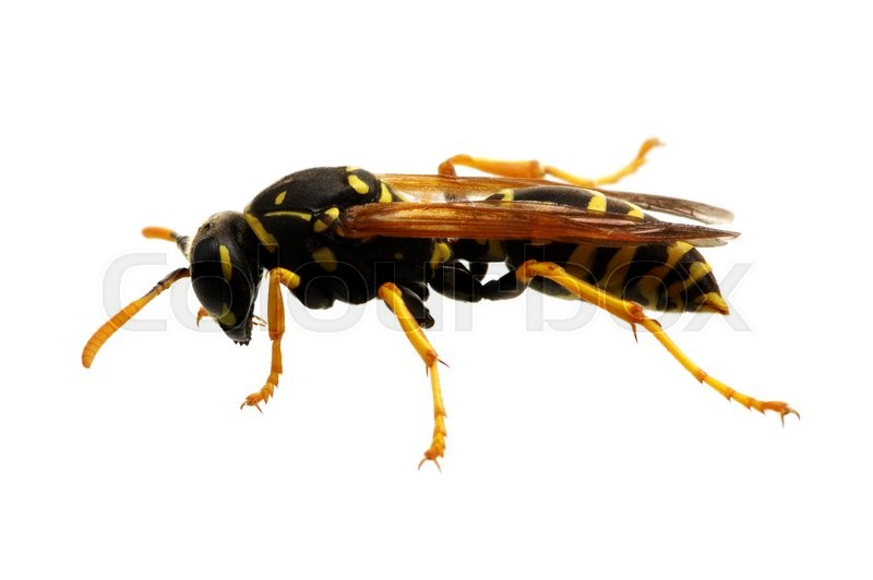 Stock image of 'wasp isolated on white background'