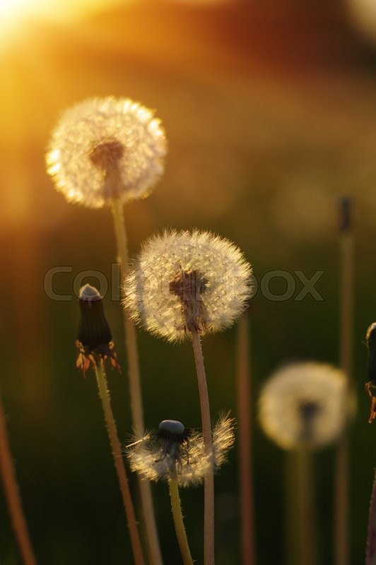 Stock image of 'Dandelions in the sun on the field'