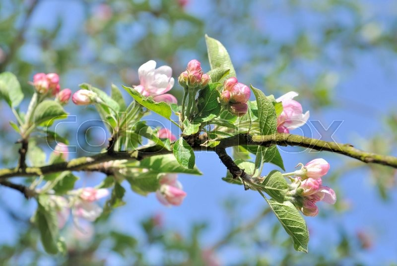 Stock image of 'blooming flowers of an apple tree under blue sky'