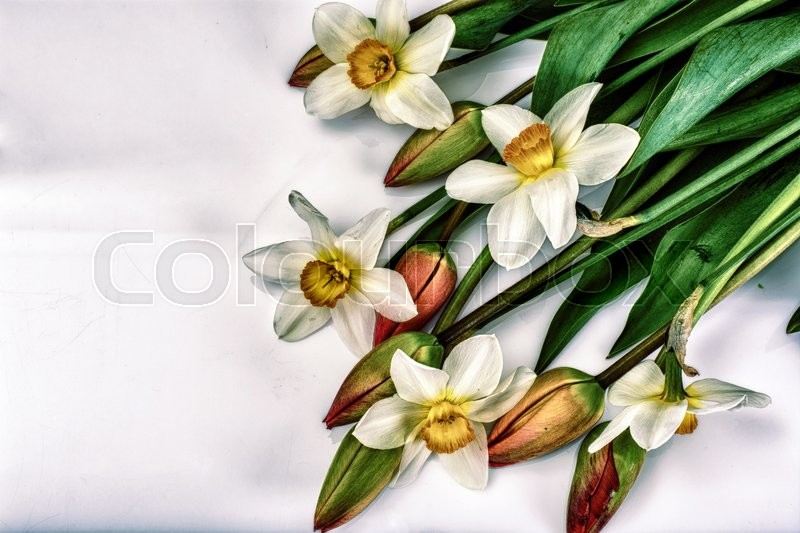 Stock image of 'Beautiful Spring Flowers Tulips and Narcissus on White Background in Retro, Vintage Style Studio Photo'