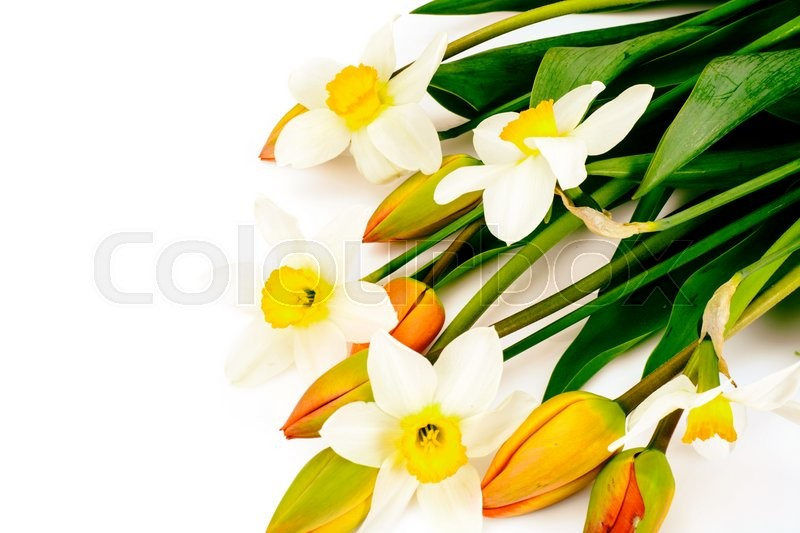 Stock image of 'Beautiful Spring Flowers Tulips and Narcissus on White Background Studio Photo'