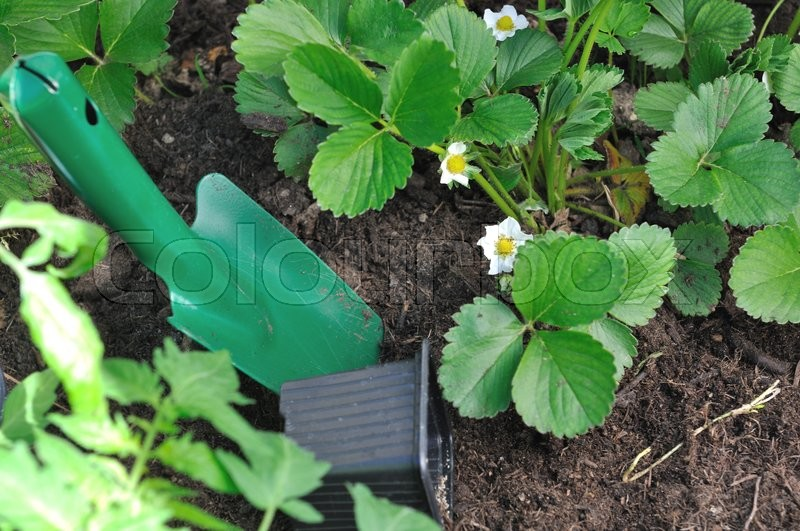 Stock image of 'strawberry plants flowering and gardening tool'
