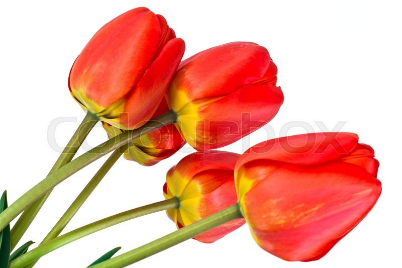 Stock image of 'Beautiful Spring Flowers Tulips on White Background Studio Photo'