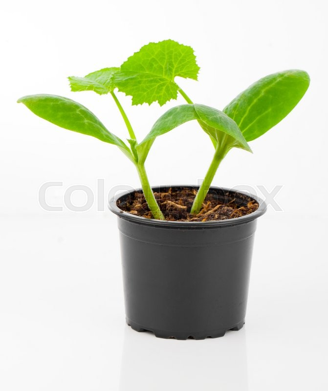 Stock image of 'Zucchini seedlings in a pot, on white background'