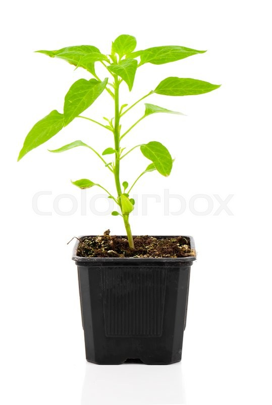 Stock image of 'Pepperoni seedlings in a pot, on white background'