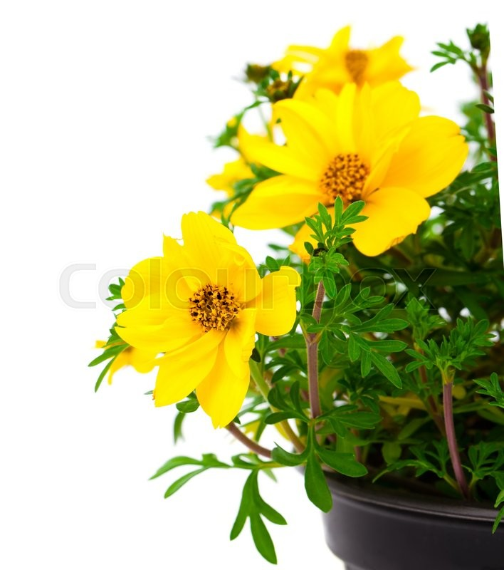 Stock image of 'Yellow flowers Goldmarie or Bidens ferulifolia or Bidens Goldilocks in a pot, on white background'