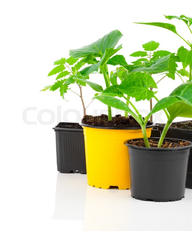 Stock image of 'Young seedlings of vegetables ready for planting, in a pot, on white background'