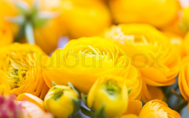 Stock image of 'gardening, flowers, floristry, holidays and flora concept - close up of beautiful yellow ranunculus flowers'