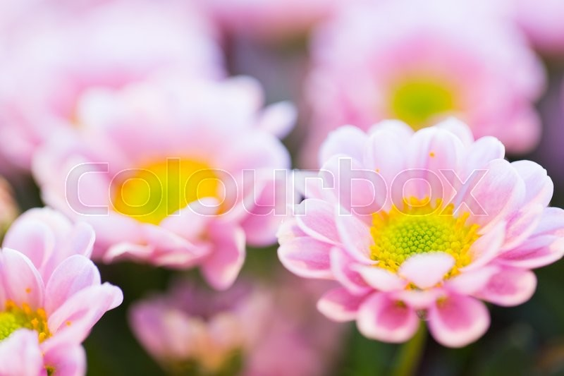Stock image of 'gardening, flowers, floristry, holidays and flora concept - close up of beautiful pink chrysanthemums'