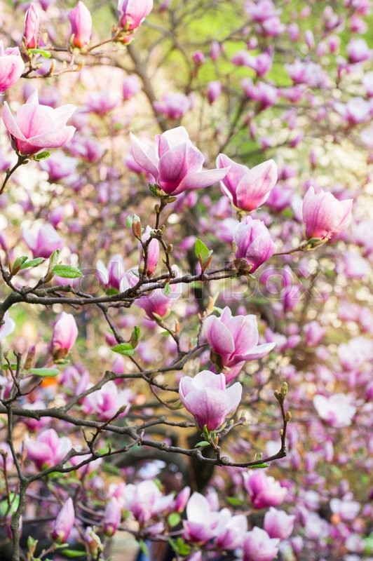 Stock image of ' blooming magnolia in a spring garden on a sunny day.'