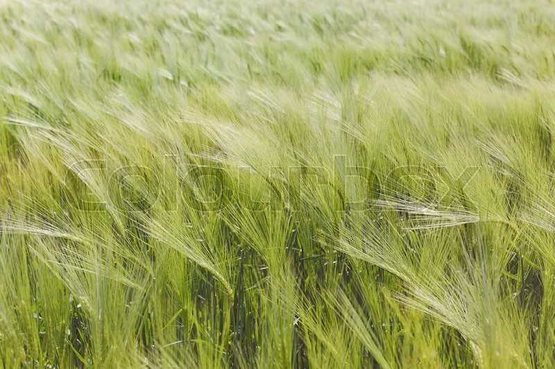 Stock image of 'Green barley plants in a field. A barley field sways gently in the wind,  agricultural background'