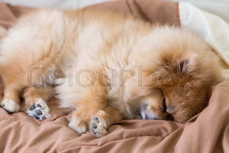 Stock image of 'Cute pet in house, pomeranian dog sleeping on the bed at home'