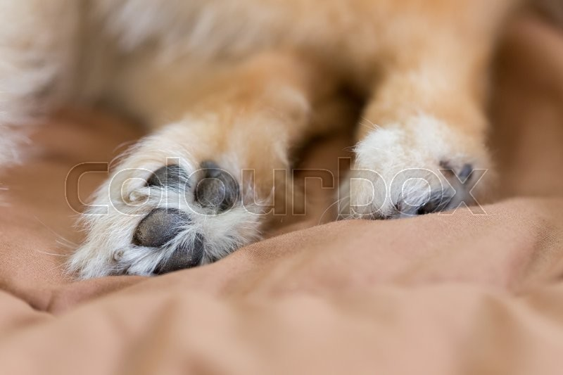 Stock image of 'Close up image, detail of foot pomeranian dog'