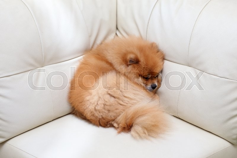Stock image of 'Pomeranian dog cute pets sleeping on white leather sofa furniture'