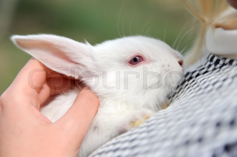 Stock image of 'White small rabbit sits in woman's hands'