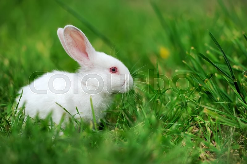 Stock image of 'Baby white rabbit in spring green grass background'