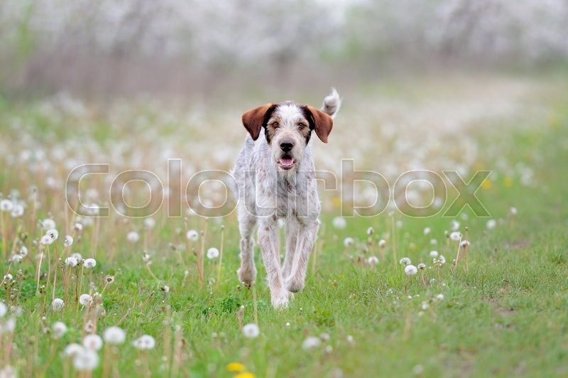 Stock image of 'Dog running on the grass field with flowers'