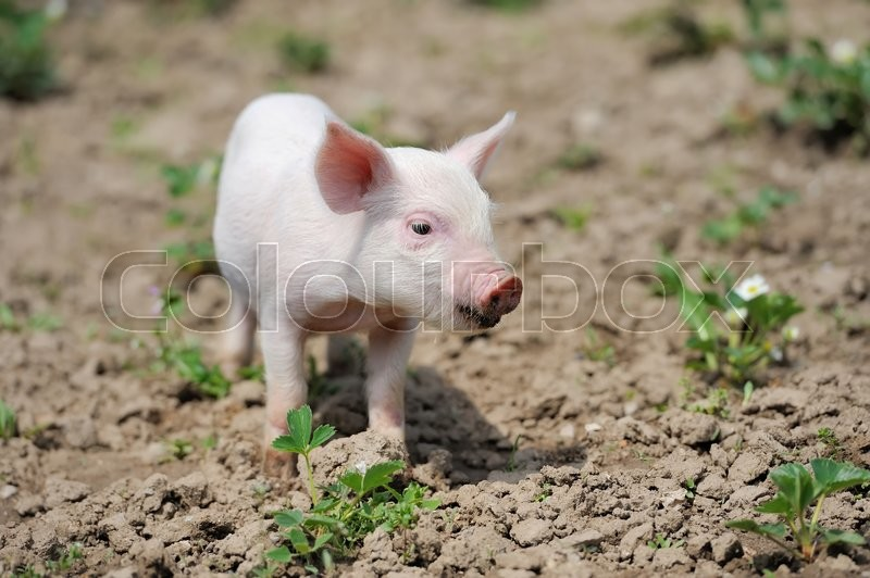 Stock image of 'Piglet on spring green grass on a farm'