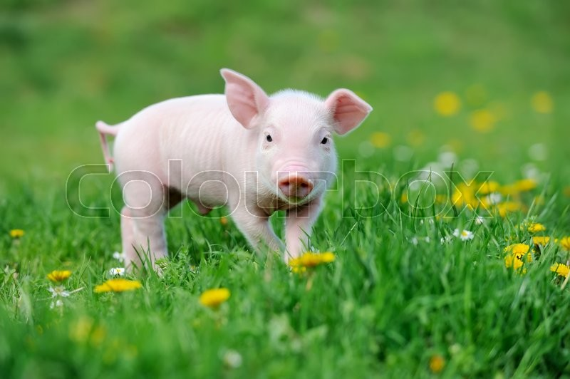 Stock image of 'Young funny pig on a spring green grass'