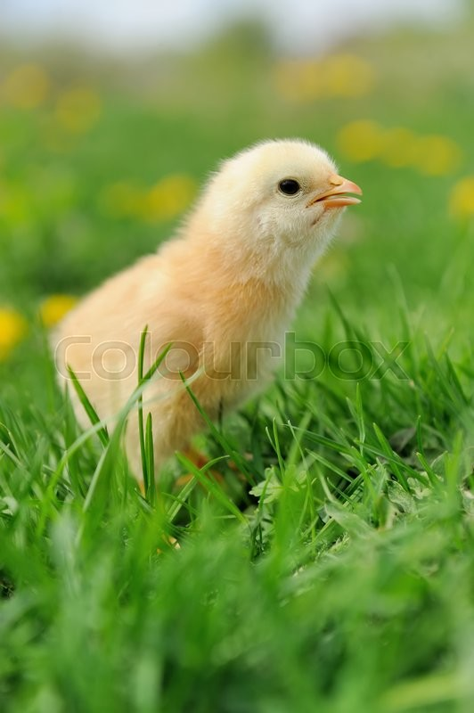Stock image of 'Beautiful little chicken on green grass in garden'