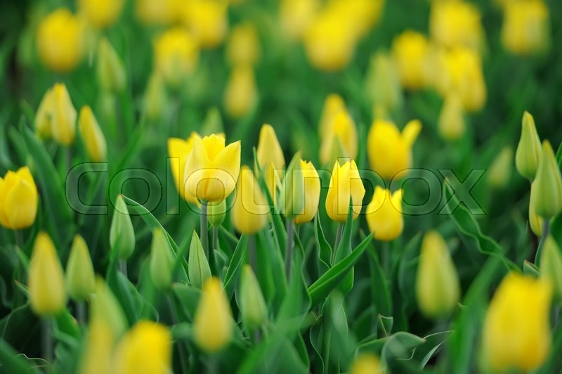 Stock image of 'Close fresh yellow tulip in field. Tulips in spring time'
