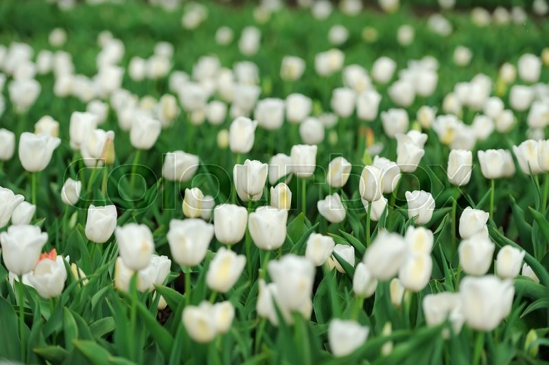 Stock image of 'Close fresh white tulip in field. Tulips in spring time'