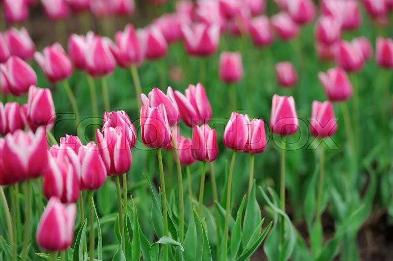 Stock image of 'Close fresh pink tulip in field. Tulips in spring time'