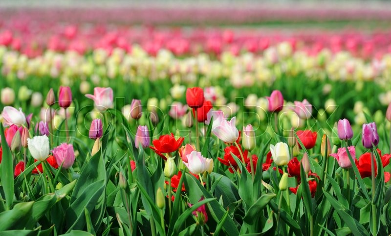 Stock image of 'Close fresh colored tulip in field. Tulips in spring time'