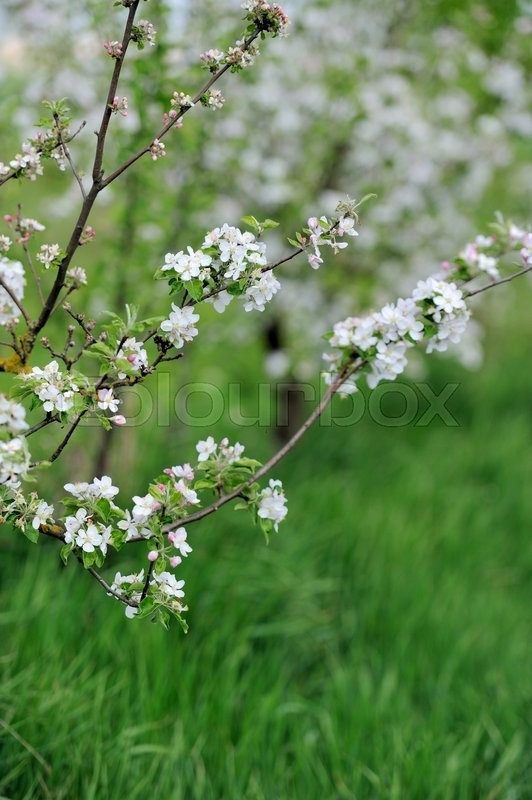 Stock image of 'White blossom of apple in the garden in spring'