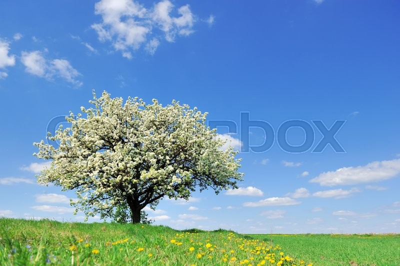 Stock image of 'Single blossoming tree in spring on rural meadow'